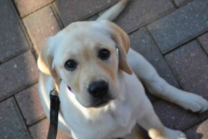 Puppies Quality Labrador Retrievers