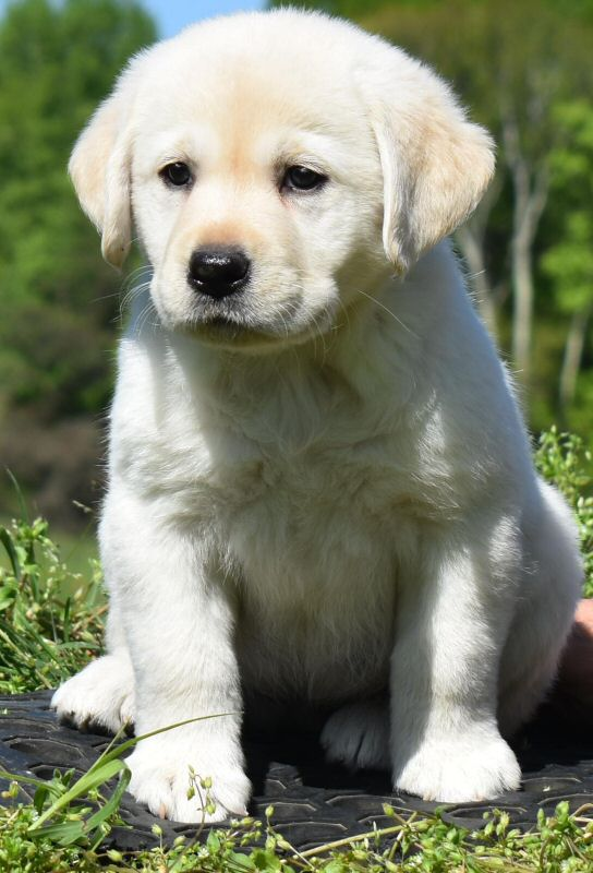 Puppies - Quality Labrador Retrievers for Performance, Hunting