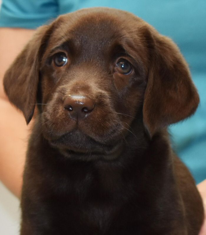 Puppies - Quality Labrador Retrievers for Performance, Hunting