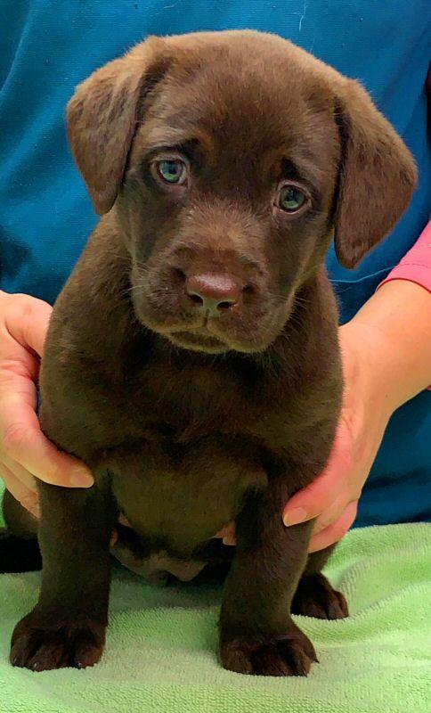 Puppies - Quality Labrador Retrievers for Performance