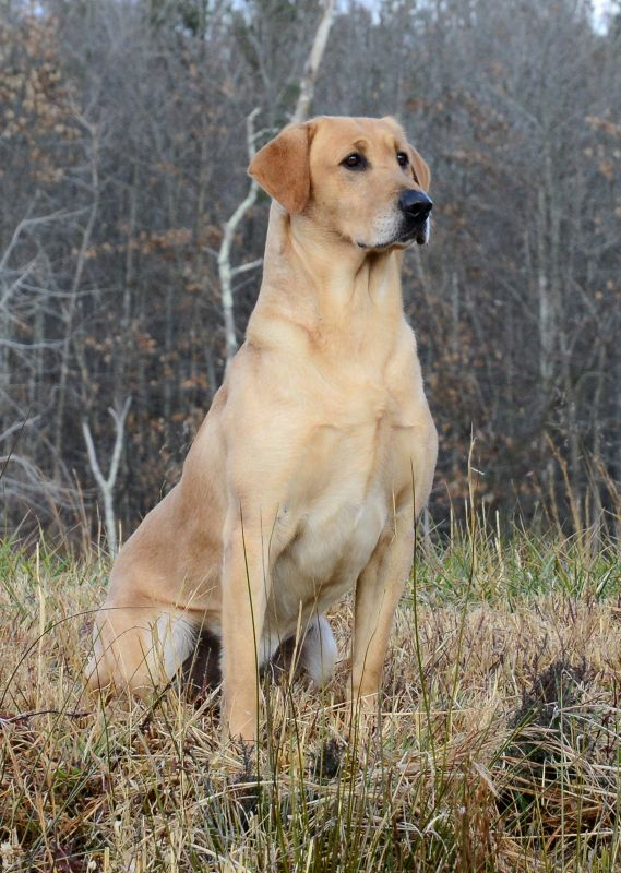 Puppies Quality Labrador Retrievers For Performance