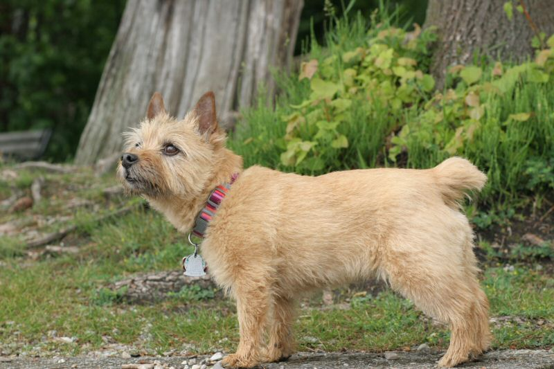 Watermark Norwich Terriers at Deep Run Farm